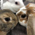ウサギの数え方(ت)